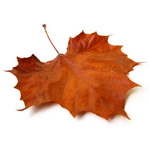 Thumbnail image for The leaf is proud when it does fall